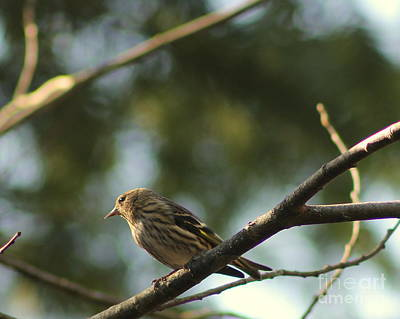 Photograph - Pine Siskin In The Sun by Leone Lund