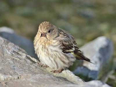 Art Print featuring the photograph Pine Siskin by Kathy King