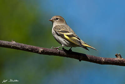 Pine Siskin Perched On A Branch Art Print by Jeff Goulden