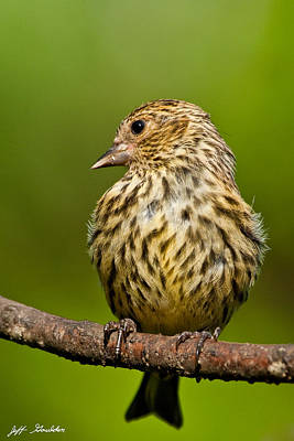 Pine Siskin With Yellow Coloration Art Print by Jeff Goulden