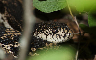 Photograph - Pine Snake by Greg Vizzi