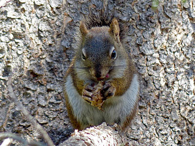 Photograph - Pine Squirrel With Nut by Thomas Samida