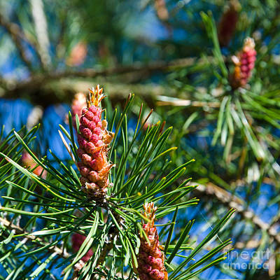Photograph - Pine Tree Flowers by Kennerth and Birgitta Kullman