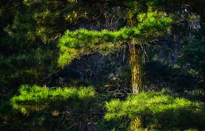 Photograph - Pine Tree In The Spring by Phil Rispin