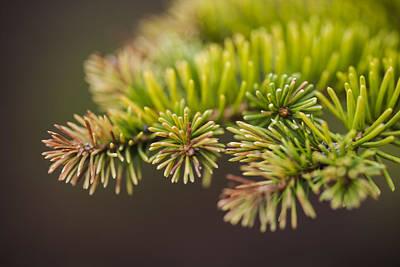 Pine Tree Original by Joel  Bourgoin