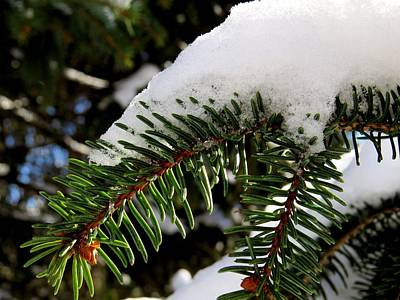 Photograph - Pine Tree Snow by Ron Grafe