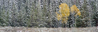 Snow-covered Landscape Photograph - Pine Trees In A Forest, Grand Teton by Panoramic Images