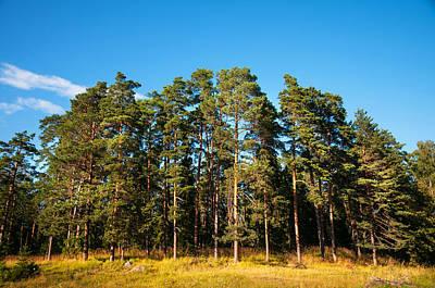 Pine Trees Of Valaam Island Art Print by Jenny Rainbow