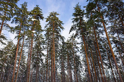 Photograph - Pine Trees Standing Tall In The Winter by Ismo Raisanen