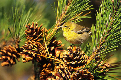 Warbler Photograph - Pine Warbler by Paul J. Fusco