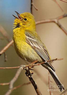 Photograph - Pine Warbler Singing by Kathy Baccari