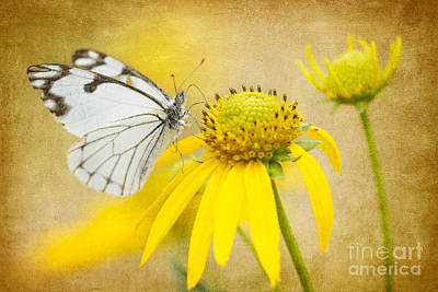 Photograph - Pine White Butterfly On Western Sneezeweed by Marianne Jensen