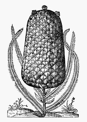 Pineapple, 1575 Print by Granger