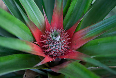 Photograph - Pineapple Development by Carole Hinding