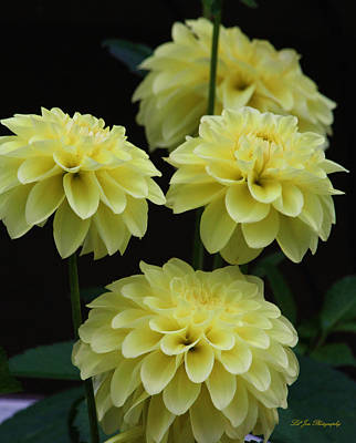 Flower Express Photograph - Pineapple Express Dahlias by Jeanette C Landstrom