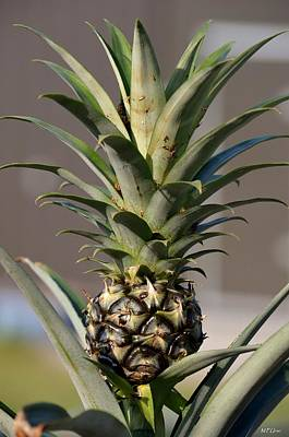 Photograph - Pineapple Express by Maria Urso