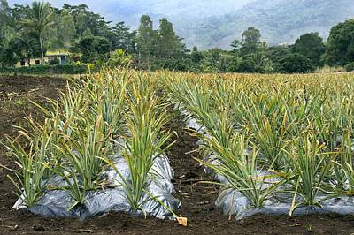 Pineapple Farm, Mauritius Art Print by Science Photo Library