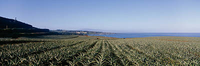 Pineapple Field On A Landscape Print by Panoramic Images