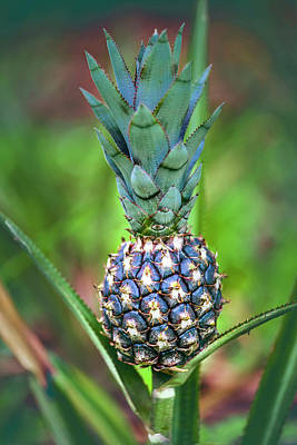 Pineapple Growing On Plant Art Print