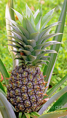 Pineapple Photograph - Pineapple Plant by Millard H. Sharp