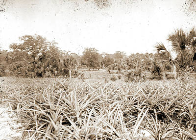Pineapple Drawing - Pineapples At Eden, Jackson, William Henry, 1843-1942 by Litz Collection