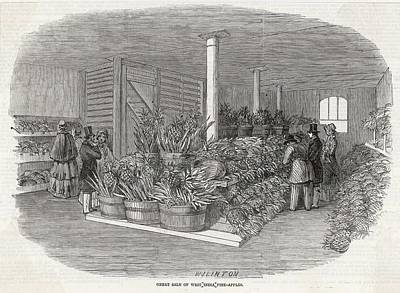 Pineapple Drawing - Pineapples From The  West Indies by  Illustrated London News Ltd/Mar