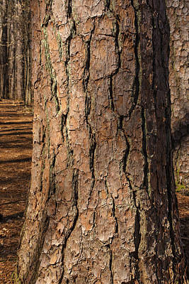 Photograph - Pinebark by Matthew Pace