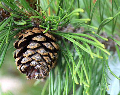 Photograph - Pinecone by A K Dayton