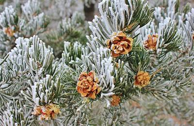 Photograph - Pinecone Frost by Diane Alexander