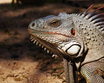 Sint Maarten Photograph - Pinel Island Iguana by Toby McGuire