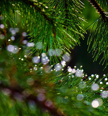 Photograph - Pines And Raindrops by Adria Trail