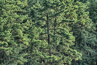 Photograph - Pines At Atsion by Dawn J Benko
