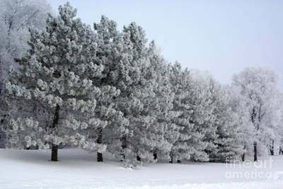 Photograph - Pines In The Winter by Tina Hailey