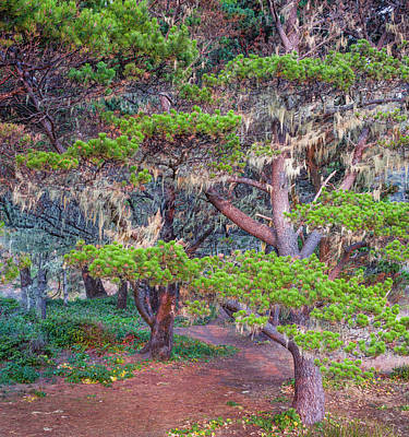 Pines With Hanging Lichens, Pacific Art Print by Panoramic Images
