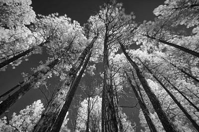 Photograph - Pinetop Pines by Michael Yeager