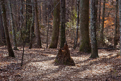 Photograph - Pinetrees 1 by Matthew Pace