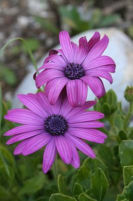 Photograph - Pink African Daisies by Tracey Harrington-Simpson