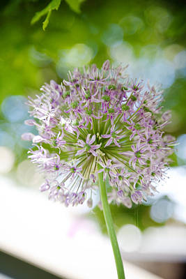 Photograph - Pink Allium Flower by Crystal Cox