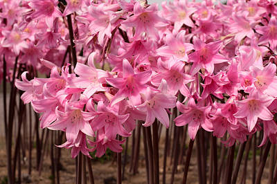 Photograph - Pink Amaryllis by Denice Breaux
