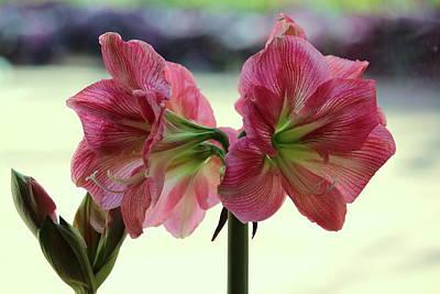 Pink Amaryllis Duet Original by Rosanne Jordan