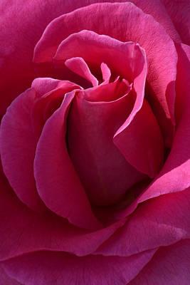 Floribunda Photograph - Pink Ambrosia by Cindy McDaniel