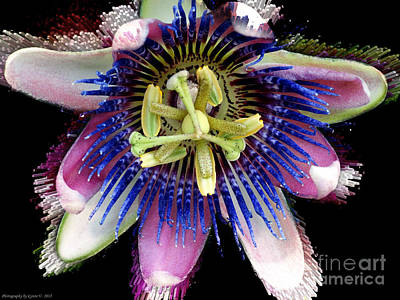 Pink And Blue Passion Flower Art Print by Gena Weiser
