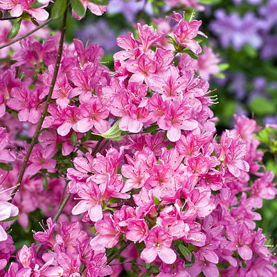 Garden Images Photograph - Pink And Blue Rhododendron by Frank Tschakert