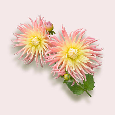 Art Print featuring the photograph Pink And Cream Cactus Dahlia by Jane McIlroy