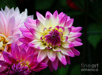 Photograph - Pink And Cream Dahlia by Shirley Mangini