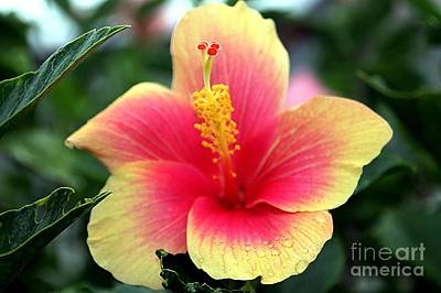 Photograph - Pink And Gold Hibiscus by Elizabeth Winter