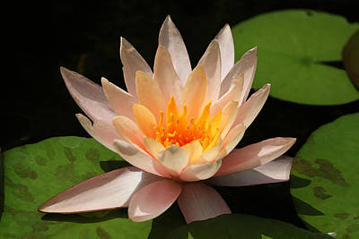 Photograph - Pink And Gold Water Lily by Suzanne Gaff