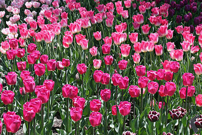Photograph - Pink And More Pink Tulips by Allen Beatty