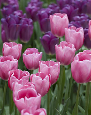 Photograph - Pink And Purple Dutch Tulips by Juli Scalzi