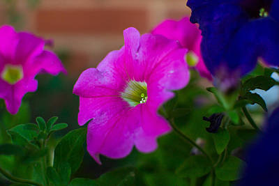 Photograph - Pink And Purple by Nathan Hillis